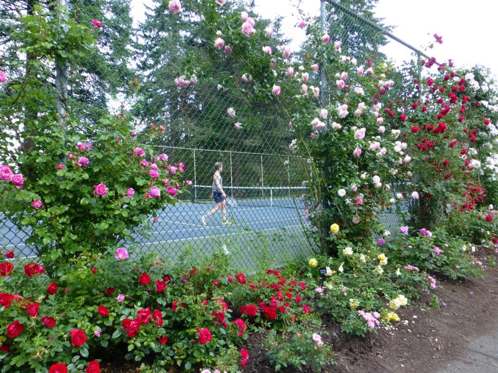 Roses around tennis court.